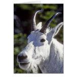 Cabra de montaña, Oreamnos americanus, en glaciar Felicitación