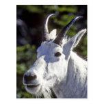 Cabra de montaña, Oreamnos americanus, en glaciar Tarjetas Postales