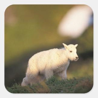cabra de montaña, Oreamnos americanus, niño en 2 Pegatina Cuadrada
