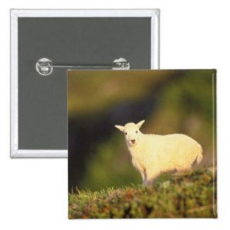 cabra de montaña, Oreamnos americanus, niño en a Pin Cuadrada 5 Cm