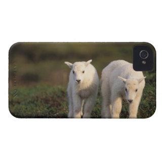 cabra de montaña, Oreamnos americanus, par de Case-Mate iPhone 4 Fundas