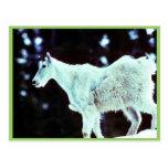 Cabra de montaña postales