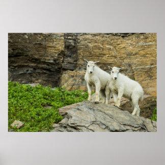 Cabra de montaña que juega en Parque Nacional Póster
