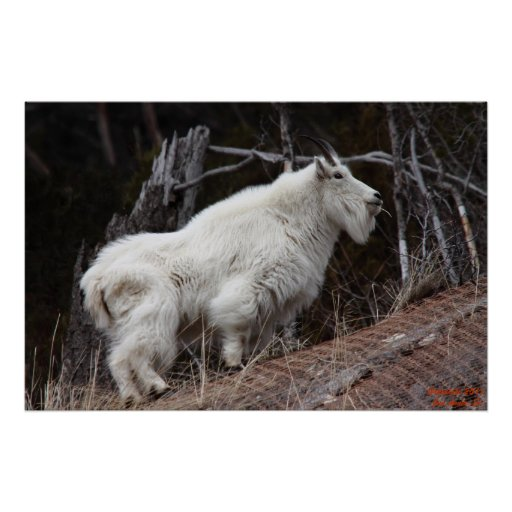 Cabra de montaña rocosa #1 posters