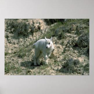 Cabra de montaña rocosa del bebé póster