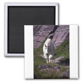 Cabra de montaña rocosa imán cuadrado