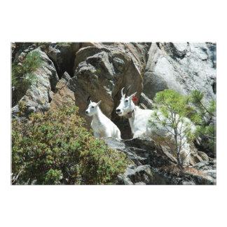 Cabra de montaña y niño - fotografía de la fauna cojinete