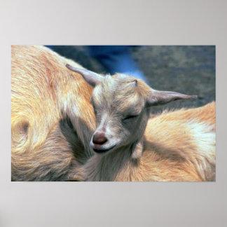Cabra del bebé póster