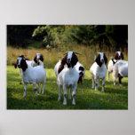 Cabra del Boer las cuadrillas todas aquí impresión Impresiones