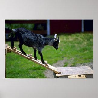 Cabra del Pigmy Póster