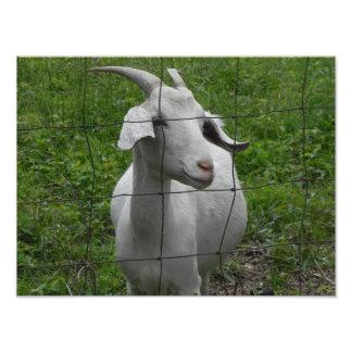 Cabra femenina blanca fotografías