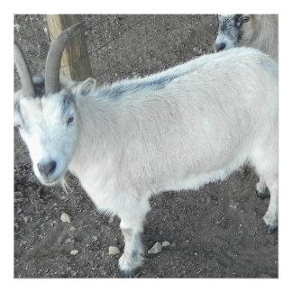 Cabra femenina del pigmy fotografía