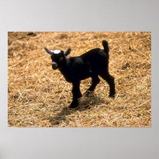 Cabra joven del Pigmy Póster