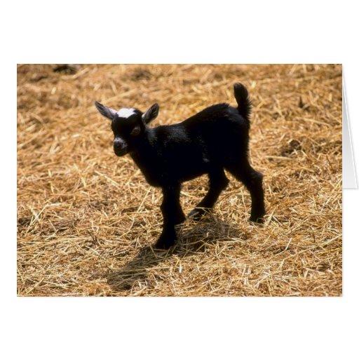 Cabra joven del Pigmy Tarjeton