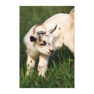 Cabra linda del bebé lona envuelta para galerias