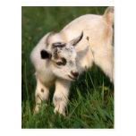 Cabra linda del bebé postales