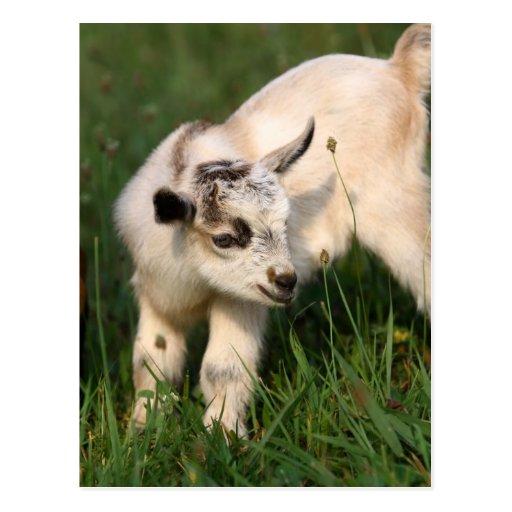 Cabra linda del bebé tarjetas postales