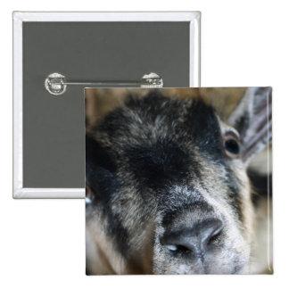 Cabra Nosy que mira para arriba Pin Cuadrada 5 Cm