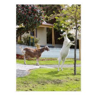 Cabra que come de árbol postales