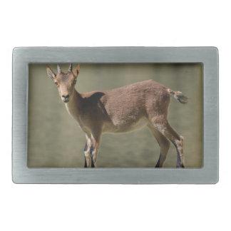 Cabra salvaje femenina joven, cabra montés ibérico hebilla cinturon rectangular