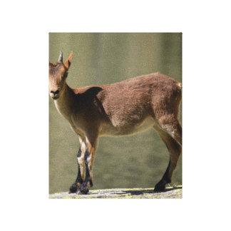 Cabra salvaje femenina joven, cabra montés ibérico impresión en lona