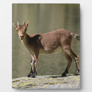 Cabra salvaje femenina joven, cabra montés ibérico placa