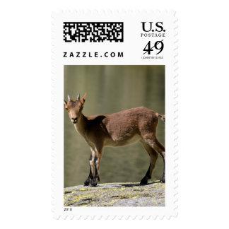 Cabra salvaje femenina joven, cabra montés ibérico sellos