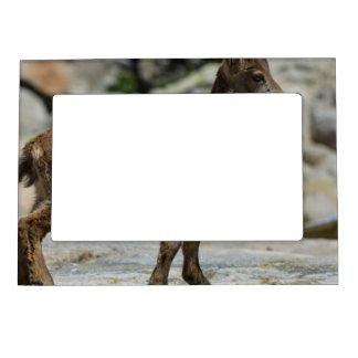 Cabra salvaje masculina joven, cabra montés ibéric marcos magnéticos para fotos