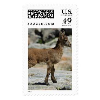 Cabra salvaje masculina joven, cabra montés ibéric envio