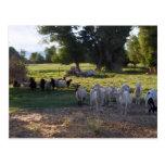 Cabras contra ovejas