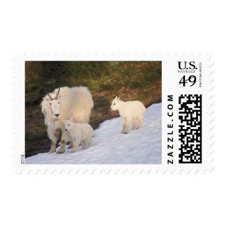 cabras de montaña, Oreamnos americanus, madre y Estampillas