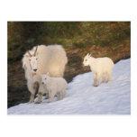 cabras de montaña, Oreamnos americanus, madre y Tarjetas Postales