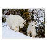 Cabras de montaña rocosa felicitación