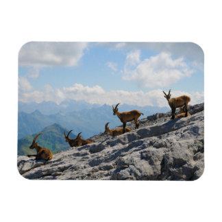 Cabras de montaña salvajes del cabra montés alpino imanes rectangulares