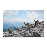 Cabras de montaña salvajes del cabra montés alpino lienzo envuelto para galerías