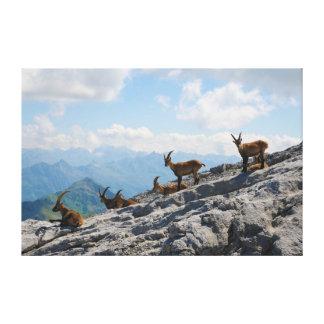 Cabras de montaña salvajes del cabra montés alpino impresion de lienzo