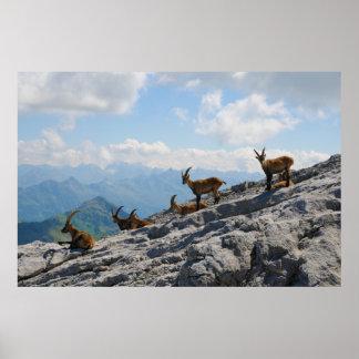 Cabras de montaña salvajes del cabra montés alpino impresiones
