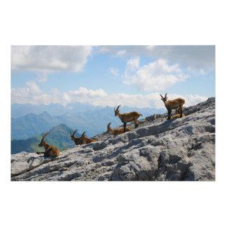 Cabras de montaña salvajes del cabra montés alpino arte fotografico
