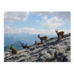 Cabras de montaña salvajes del cabra montés alpino postal