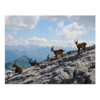 Cabras de montaña salvajes del cabra montés alpino tarjetas postales