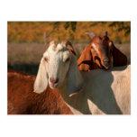 Cabras de Nubian Postales