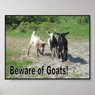 Cabras enanas nigerianas duras poster