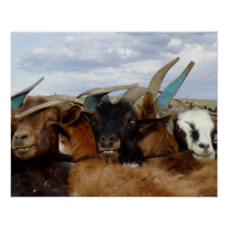 Cabras mongoles poster