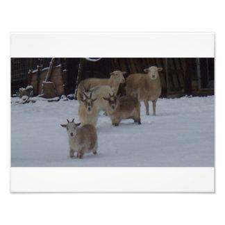 cabras y ovejas en la nieve fotografías