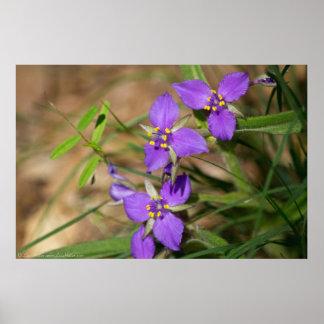 Cacade of Violet Hued Spiderwort Poster
