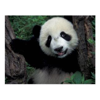 Cachorro de la panda con el árbol, Wolong, Tarjetas Postales