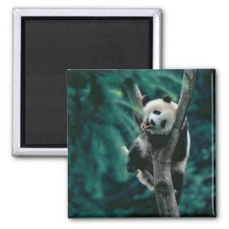 Cachorro de la panda en el árbol, Wolong, Sichuan, Imán Cuadrado