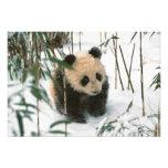 Cachorro de la panda en la nieve, Wolong, Sichuan, Fotografías