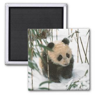 Cachorro de la panda en la nieve, Wolong, Sichuan, Imán Para Frigorifico