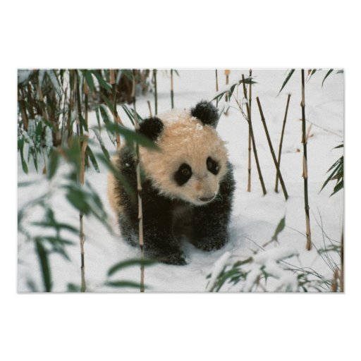 Cachorro de la panda en la nieve, Wolong, Sichuan, Impresiones